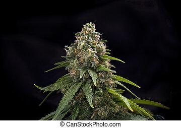 cannabis, cabelos, strain), marijuana, tarde, visível, fenda, (green, florescendo, fase, cola
