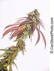 cannabis, cabelos, strain), marijuana, tarde, visível, (mangopuff, florescendo, cola, folhas, fase
