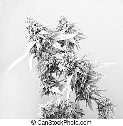cannabis, cabelos, strain), marijuana, tarde, visível, (thousand, folhas, florescendo, cola, carvalhos, fase