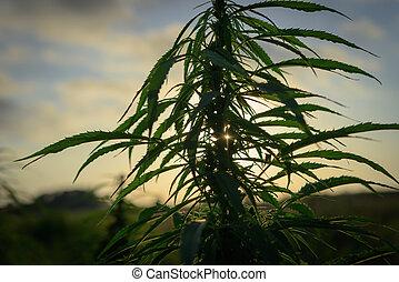cannabis, campo