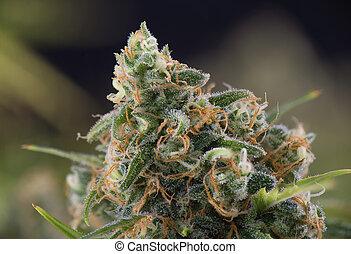 cannabis, cola, (black, ruso, marijuana, strain), en, tarde, florecimiento, etapa