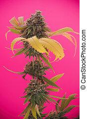 Cannabis cola (Mangolope marijuana strain) with visible...