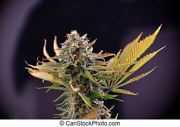 cannabis, cola, (russian, muñeca, marijuana, strain), con, visible, trichomes, en, tarde, florecimiento, etapa