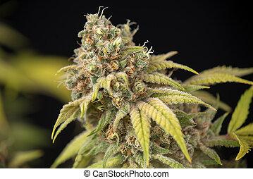 cannabis, cola, (thousand, robles, marijuana, strain), con, visible, trichomes, y, hojas, en, tarde, florecimiento, etapa