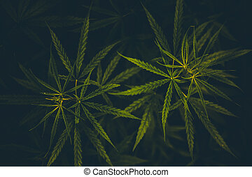 cannabis, experiência., leaves., marijuana