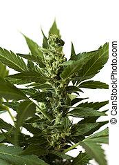 cannabis, flor, marijuana, detalhe