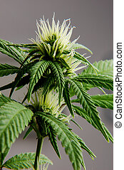 cannabis flower - detail of cannabis indica plant in flower...