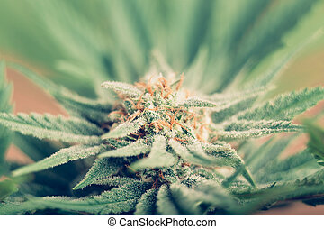Cannabis flowering - Closeup of Cannabis female plant in ...