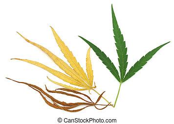 cannabis, folhas