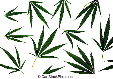 cannabis, folhas, branca, isolado, fundo