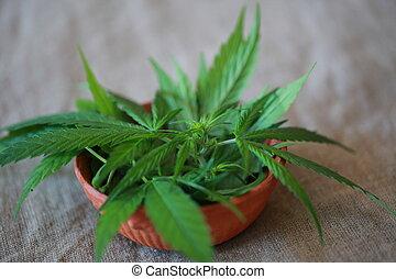 cannabis, folhas, folha, verde, marijuana