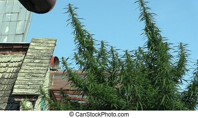 Cannabis for the cultivation of marijuana, illegal and...