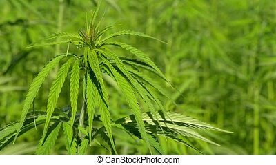 Cannabis hemp on the field. Close up.