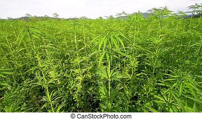 Cannabis hemp on the field with sky and hills