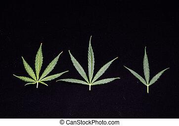 cannabis, hoja, Plano de fondo