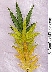 cannabis, hojas, patrón, aislado, encima, fondo blanco