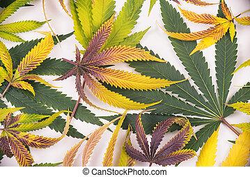 cannabis, hojas, patrón, aislado, encima, fondo blanco, -,...