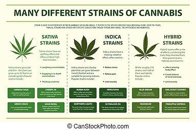 cannabis, horzintal, infographic, muitos, diferente, strains