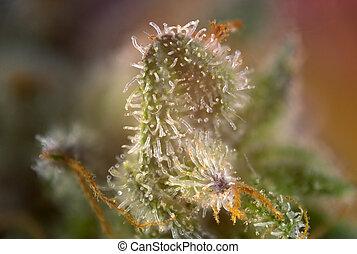 cannabis, knospe, makro, mit, sichtbar, thc, drüsen, aka,...