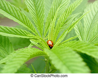 cannabis & ladybug - close-up of a cannabis plant with...