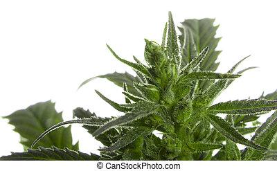 Cannabis leaf, marijuana isolated over white