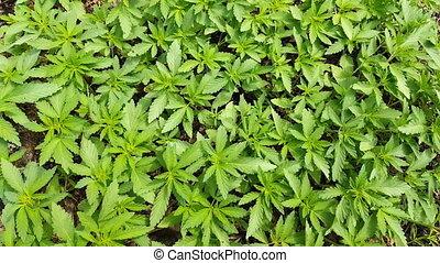Cannabis leaf, marijuana swaying in the wind