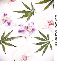 Cannabis leaves and dried pink orquid petals isolated over...