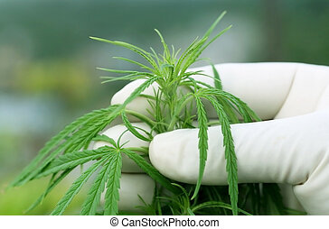 Cannabis leaves holding by hand wearing glove