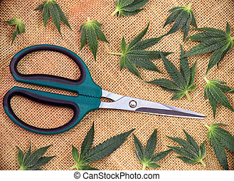 Cannabis leaves over hemp burlap background with trimming scissors
