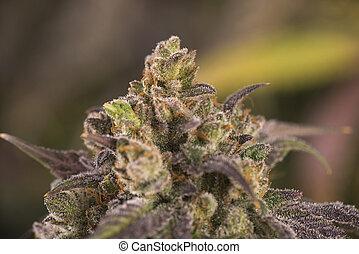 cannabis, (mangolope, strain), marijuana, tarde, visível, cabelos, florescendo, cola, folhas, fase