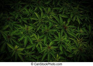 Cannabis marijuana leaf closeup background