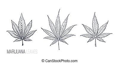 Cannabis or Marijuana leaves vector sketch