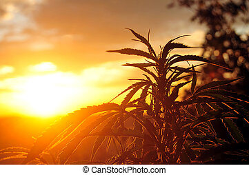 Cannabis plant at sunrise - Silhouette of cannabis plant in ...