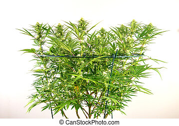 Cannabis plant with early flowers isolated over white