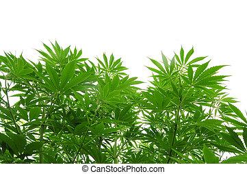 cannabis, plante