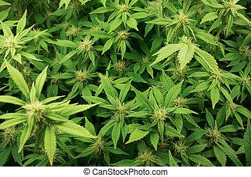 Cannabis plants background.