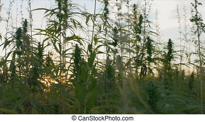 Cannabis or hemp plants growing on field for cannabidiol production. Sun shining through marijuana leaves.