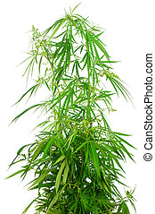 cannabis, sativa