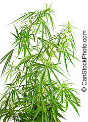 Cannabis sativa. Marijuana plant isolated on white background