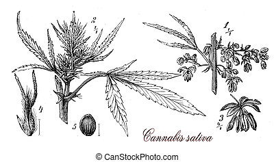 Cannabis sativa,botanical vintage engraving