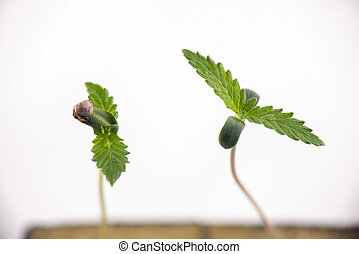 Cannabis seedling growing on a cube isolated over white...