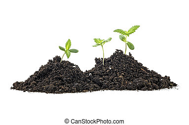 cannabis, solo, marijuana, experiência., brotos, branca, humus, plant.