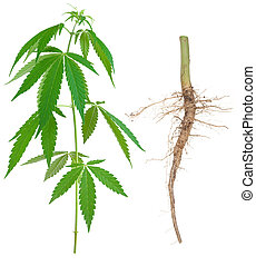 Cannabis with a root