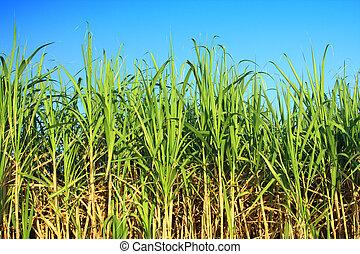 canne sucre, plantation