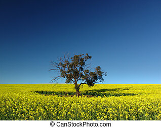 canola, árbol