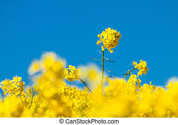 Canola and blue sky - Canola field and blue sky.