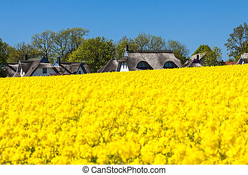Canola and buildings - Canola field and buildings.