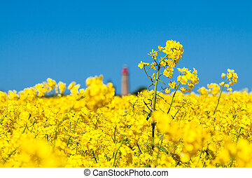 Canola and lighthouse - Canola field and lighthouse on the ...