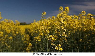 Canola Blossoms Foreground Focus