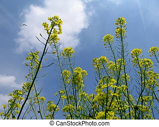 Canola - canola close up against blue sky